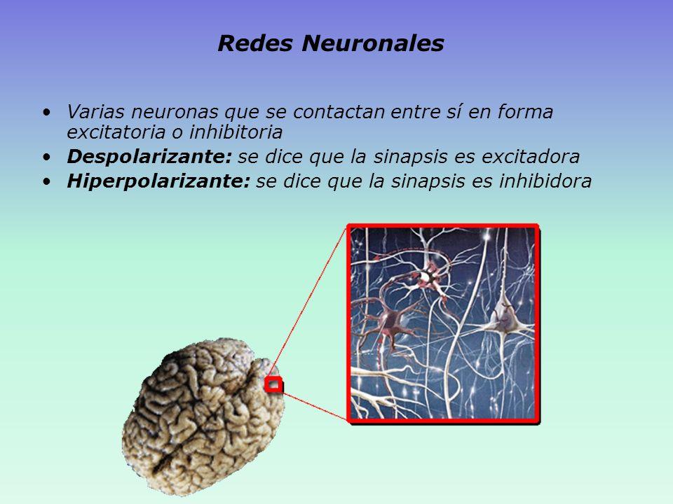 Redes Neuronales Varias neuronas que se contactan entre sí en forma excitatoria o inhibitoria. Despolarizante: se dice que la sinapsis es excitadora.