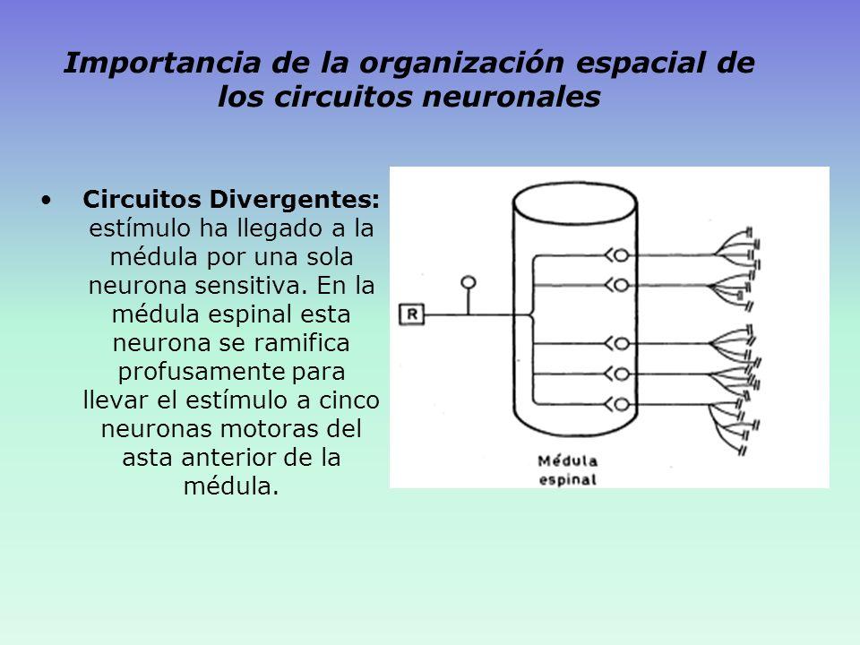 Importancia de la organización espacial de los circuitos neuronales