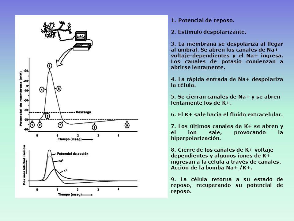 Potencial de reposo. 2. Estímulo despolarizante. 3. La membrana se despolariza al llegar al umbral. Se abren los canales de Na+