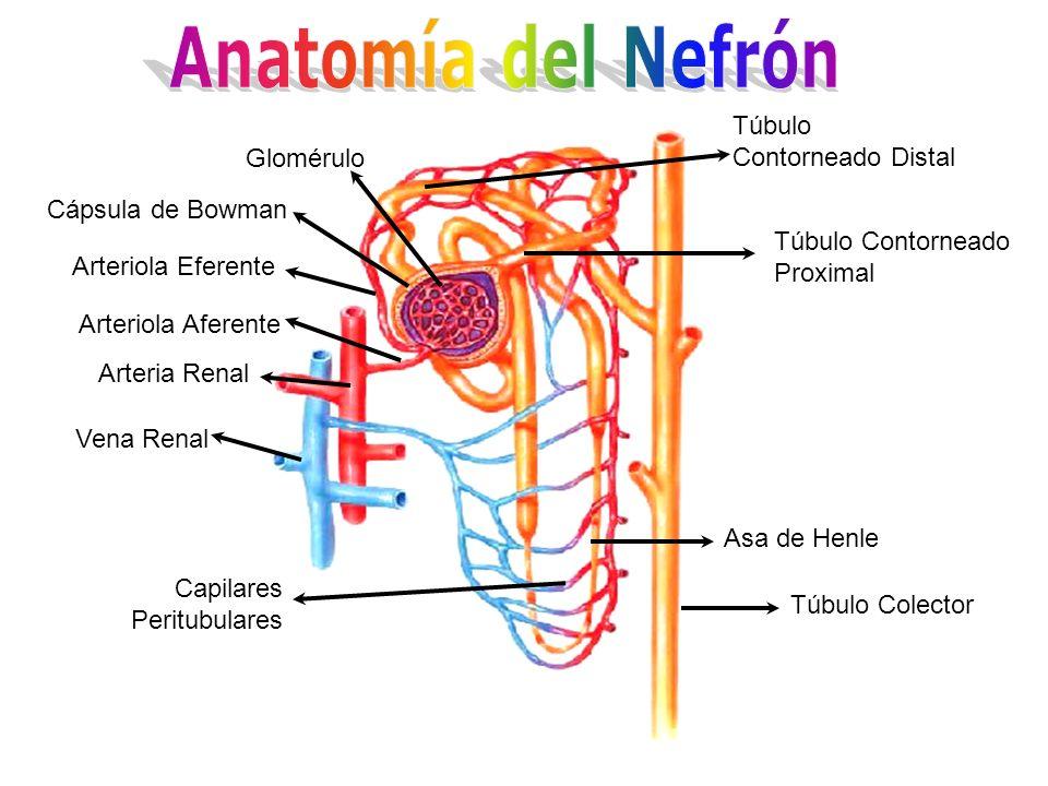 Anatomía del Nefrón Túbulo Contorneado Distal Glomérulo