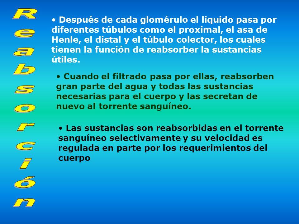 Después de cada glomérulo el liquido pasa por diferentes túbulos como el proximal, el asa de Henle, el distal y el túbulo colector, los cuales tienen la función de reabsorber la sustancias útiles.