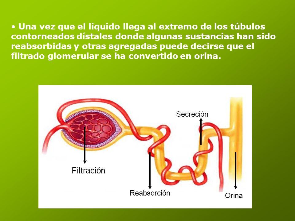 Una vez que el liquido llega al extremo de los túbulos contorneados dístales donde algunas sustancias han sido reabsorbidas y otras agregadas puede decirse que el filtrado glomerular se ha convertido en orina.