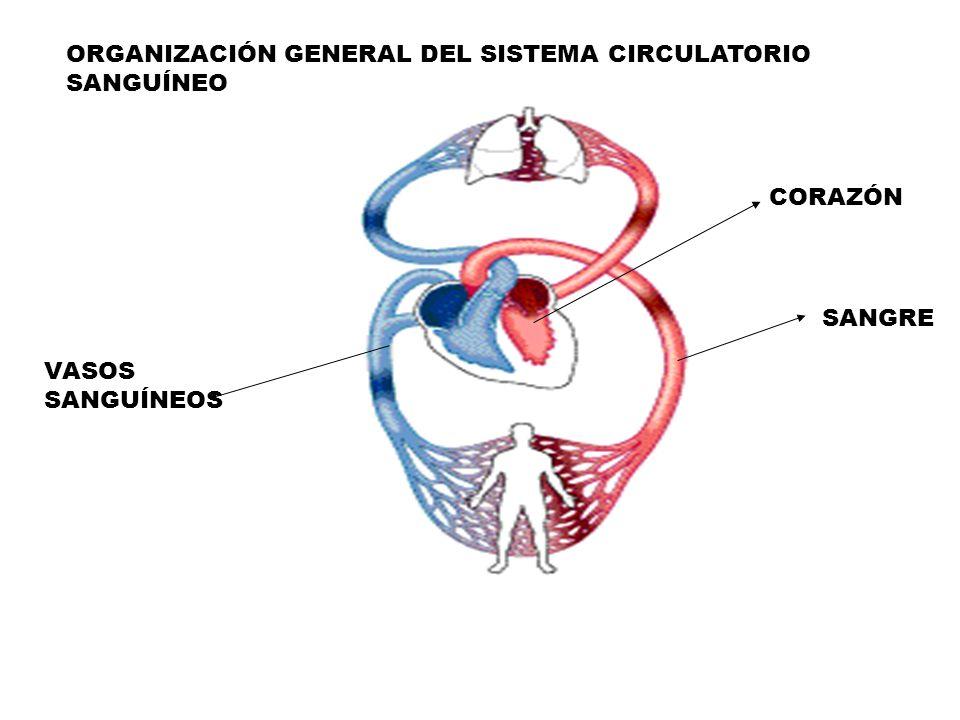ORGANIZACIÓN GENERAL DEL SISTEMA CIRCULATORIO SANGUÍNEO - ppt video ...