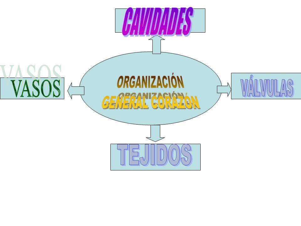 CAVIDADES ORGANIZACIÓN GENERAL CORAZÓN VÁLVULAS VASOS TEJIDOS