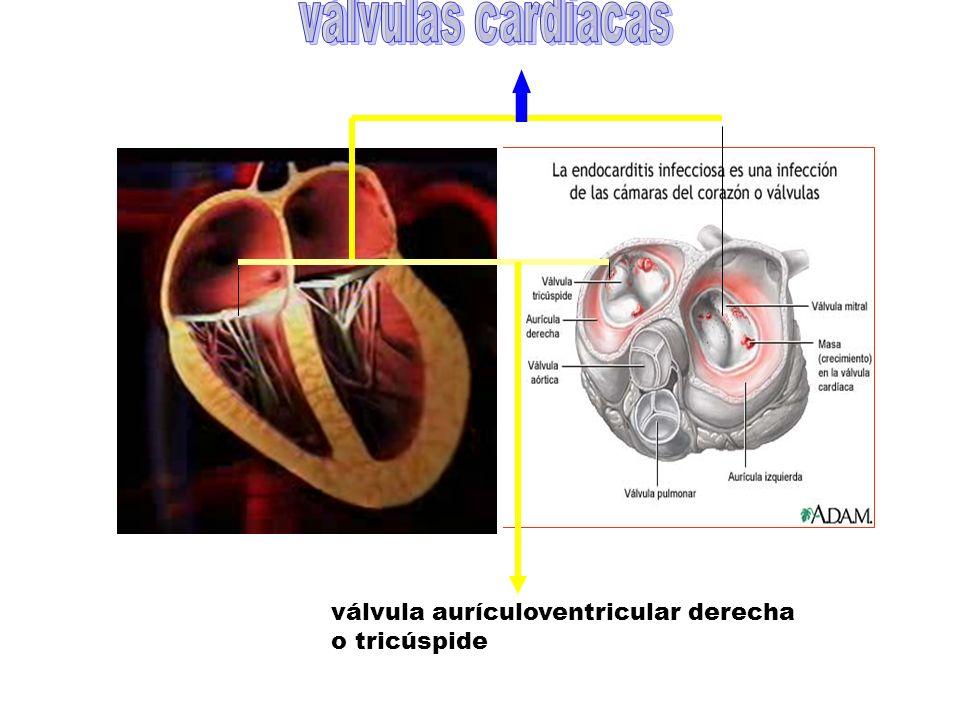 válvulas cardiacas válvula aurículoventricular derecha o tricúspide