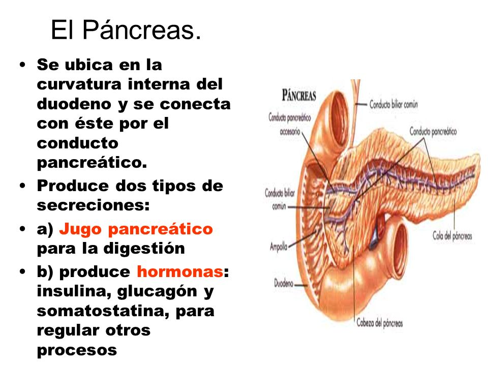 El Páncreas. Se ubica en la curvatura interna del duodeno y se conecta con éste por el conducto pancreático.
