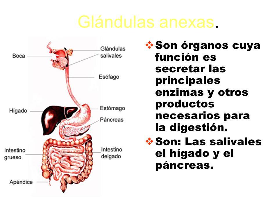 Glándulas anexas. Son órganos cuya función es secretar las principales enzimas y otros productos necesarios para la digestión.