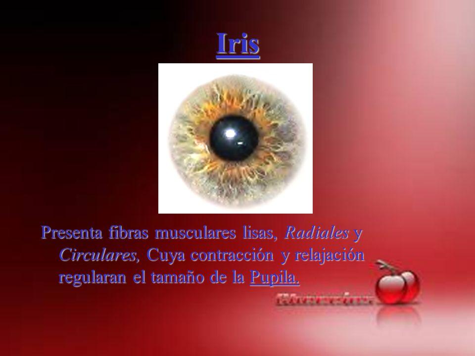 IrisPresenta fibras musculares lisas, Radiales y Circulares, Cuya contracción y relajación regularan el tamaño de la Pupila.