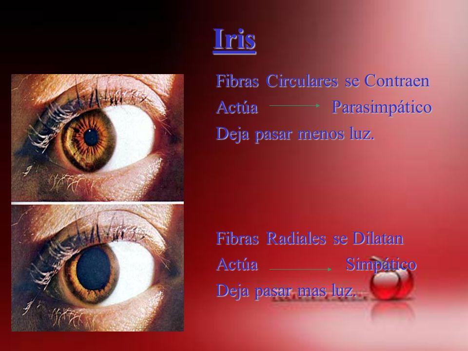 Iris Fibras Circulares se Contraen Actúa Parasimpático