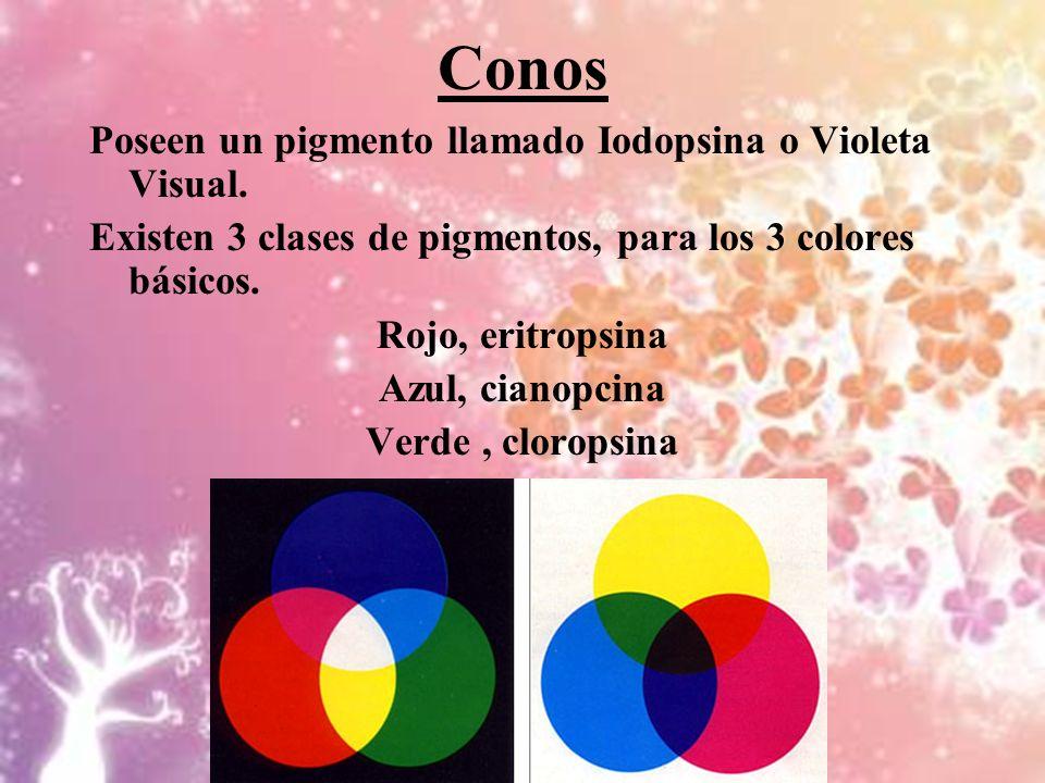 Conos Poseen un pigmento llamado Iodopsina o Violeta Visual.