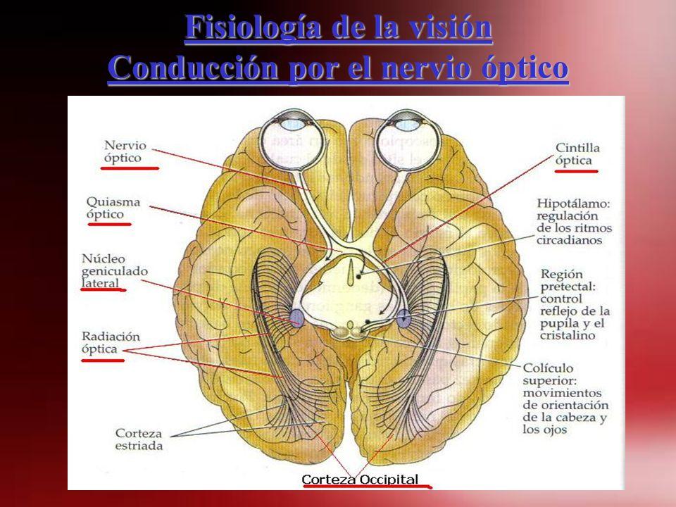 Fisiología de la visión Conducción por el nervio óptico