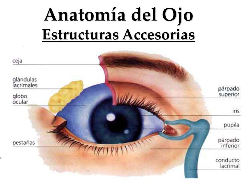Anatomía del Ojo Estructuras Accesorias