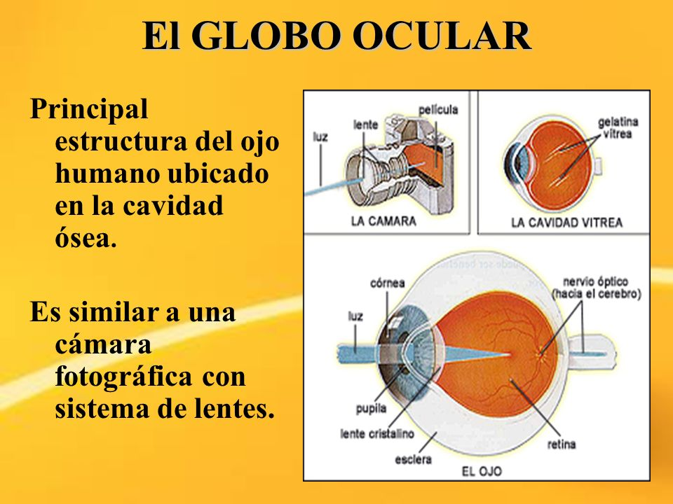 El GLOBO OCULAR Principal estructura del ojo humano ubicado en la cavidad ósea.