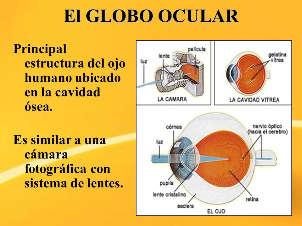 El GLOBO OCULARPrincipal estructura del ojo humano ubicado en la cavidad ósea.