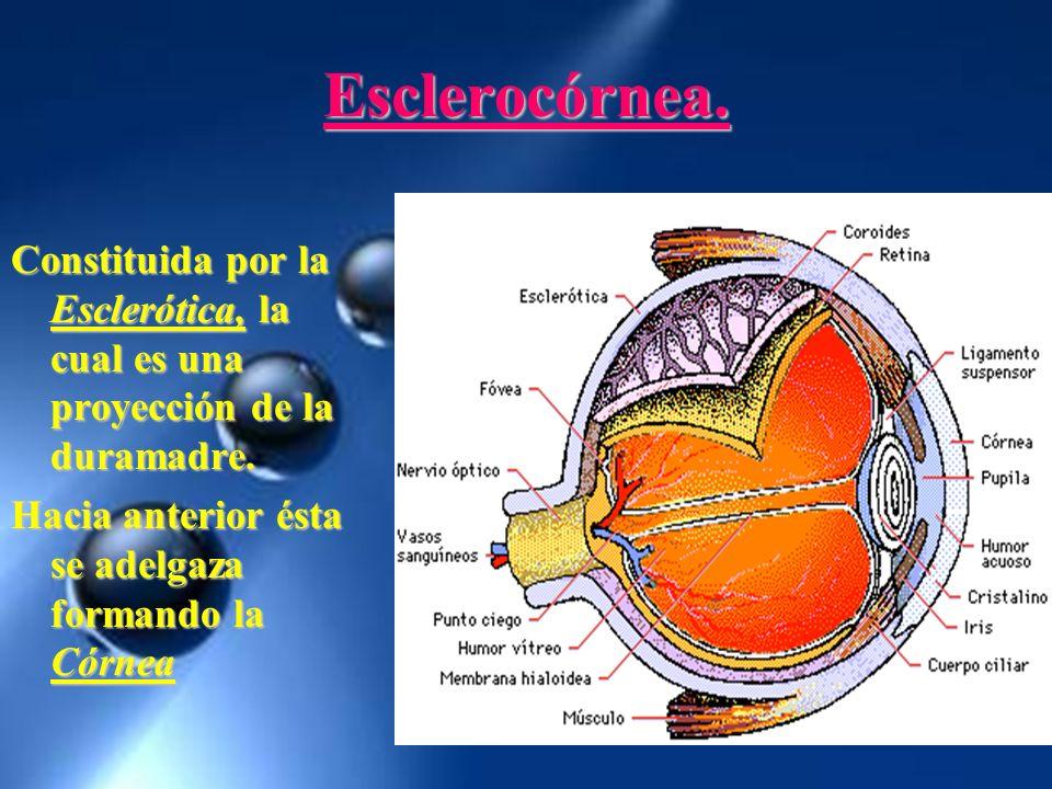 Esclerocórnea. Constituida por la Esclerótica, la cual es una proyección de la duramadre.
