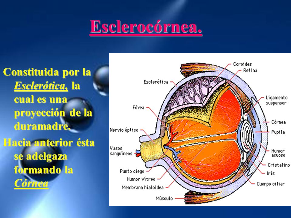 Esclerocórnea.Constituida por la Esclerótica, la cual es una proyección de la duramadre.