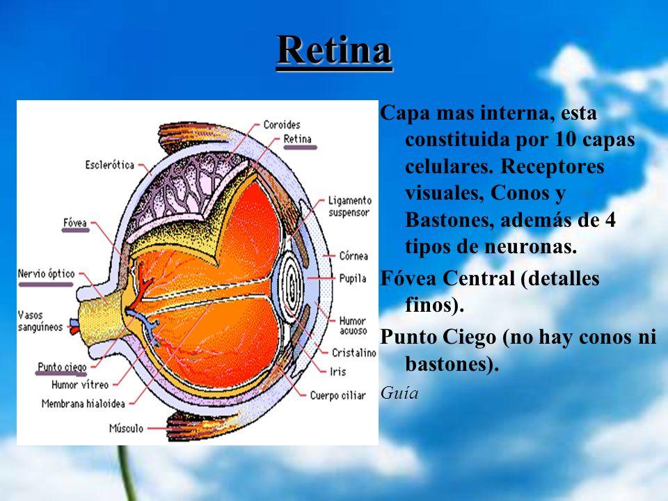 RetinaCapa mas interna, esta constituida por 10 capas celulares. Receptores visuales, Conos y Bastones, además de 4 tipos de neuronas.