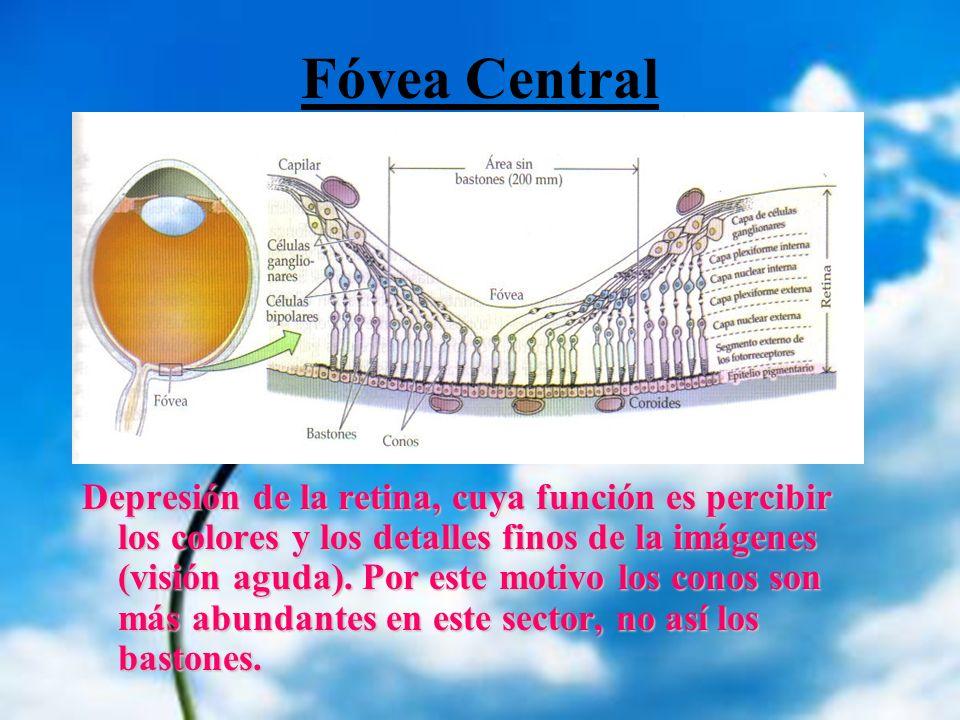 Fóvea Central