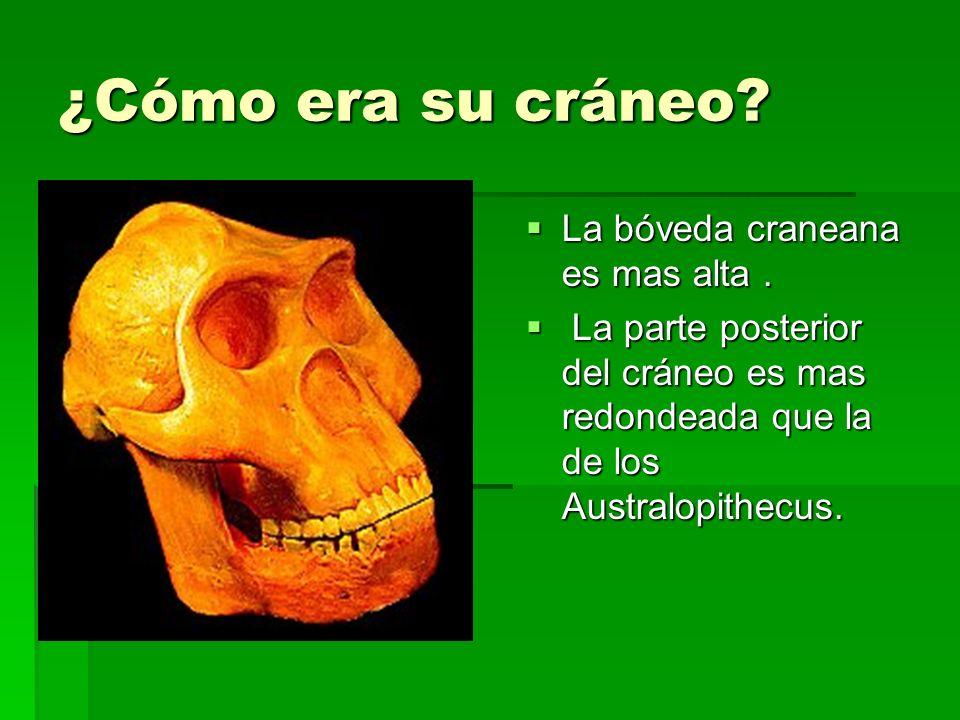 ¿Cómo era su cráneo La bóveda craneana es mas alta .