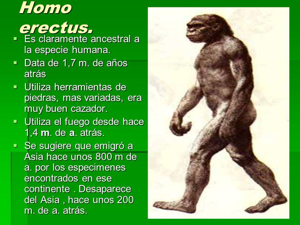 Homo erectus. Es claramente ancestral a la especie humana.