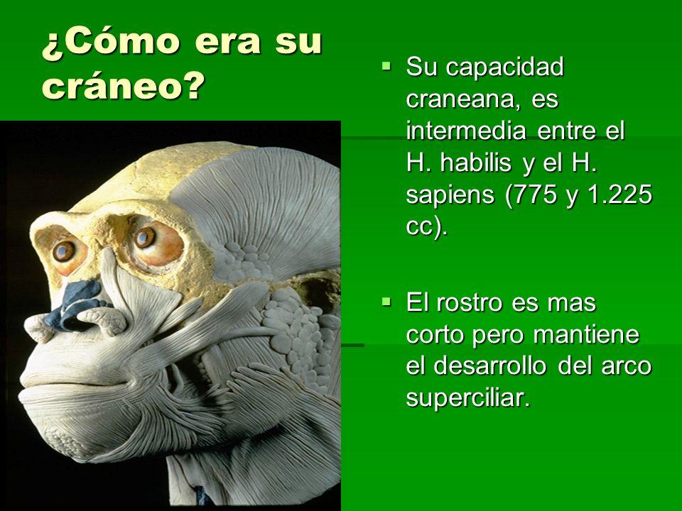 ¿Cómo era su cráneo Su capacidad craneana, es intermedia entre el H. habilis y el H. sapiens (775 y 1.225 cc).