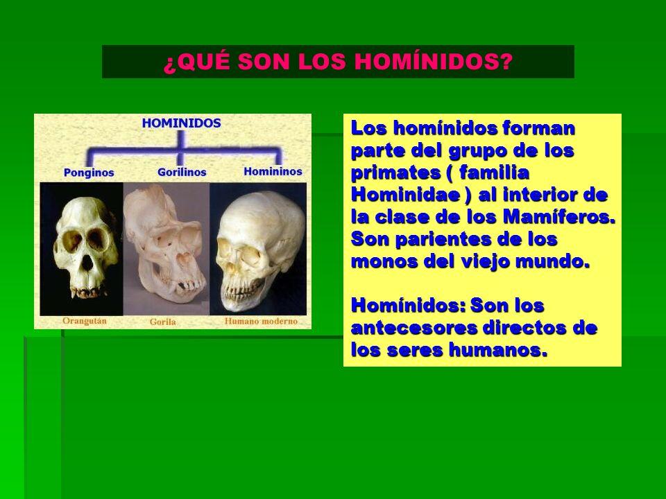 ¿QUÉ SON LOS HOMÍNIDOS Los homínidos forman parte del grupo de los primates ( familia Hominidae ) al interior de la clase de los Mamíferos.