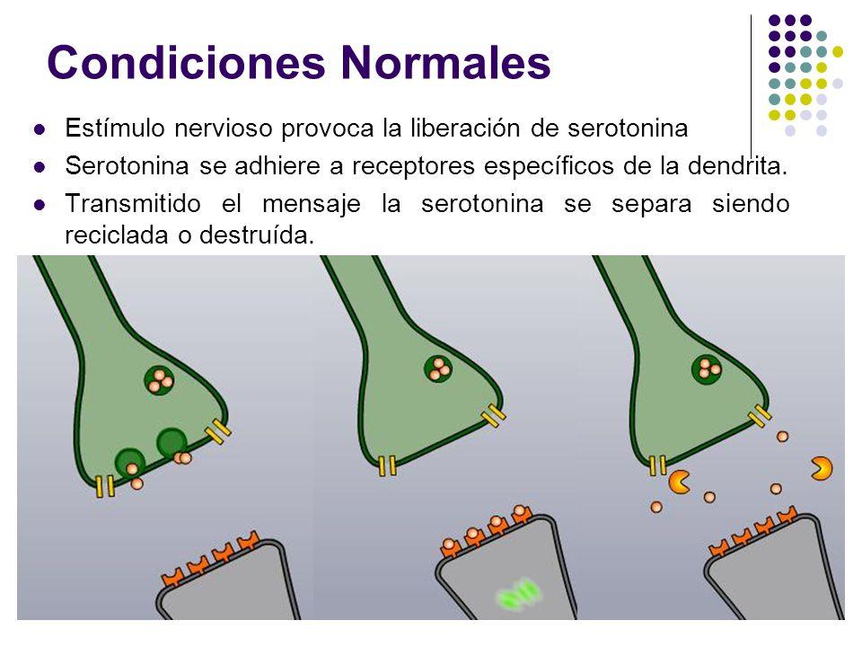 Condiciones Normales Estímulo nervioso provoca la liberación de serotonina. Serotonina se adhiere a receptores específicos de la dendrita.