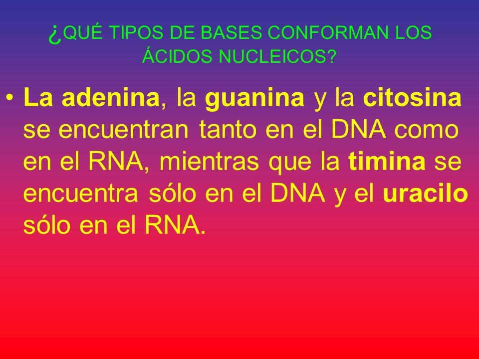 ¿QUÉ TIPOS DE BASES CONFORMAN LOS ÁCIDOS NUCLEICOS