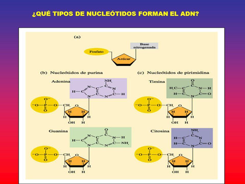 ¿QUÉ TIPOS DE NUCLEÓTIDOS FORMAN EL ADN