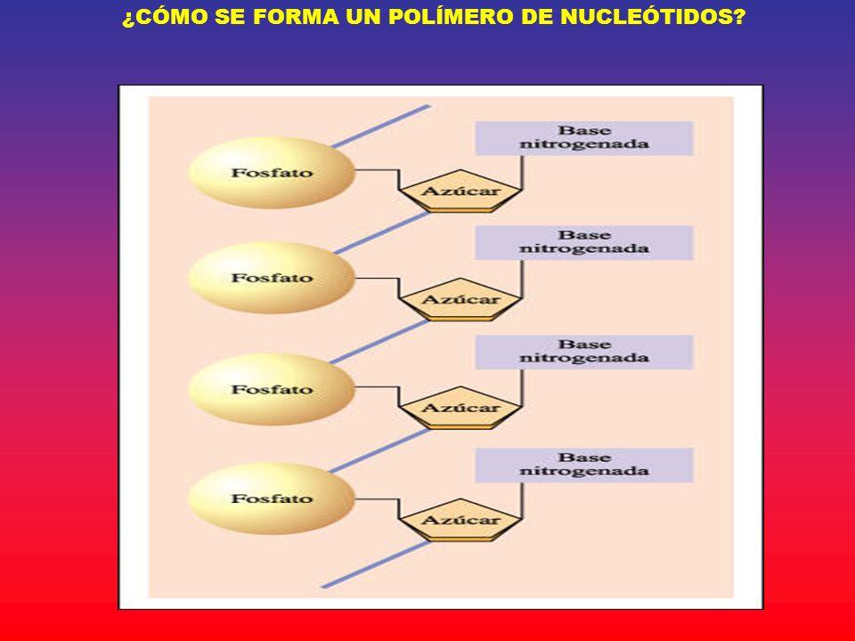 ¿CÓMO SE FORMA UN POLÍMERO DE NUCLEÓTIDOS