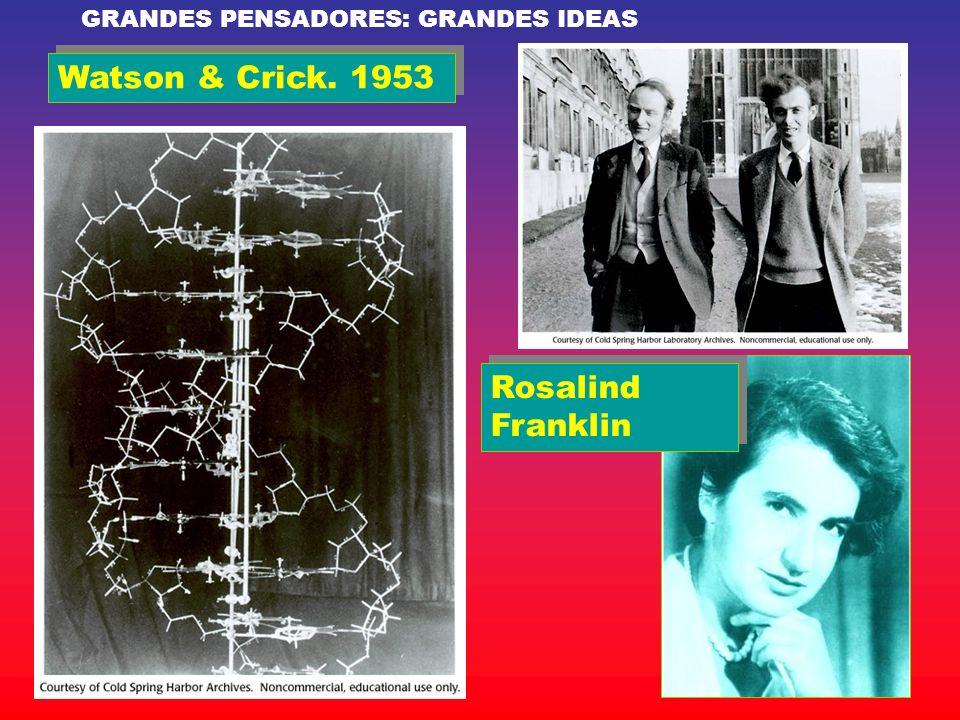 Watson & Crick. 1953 Rosalind Franklin