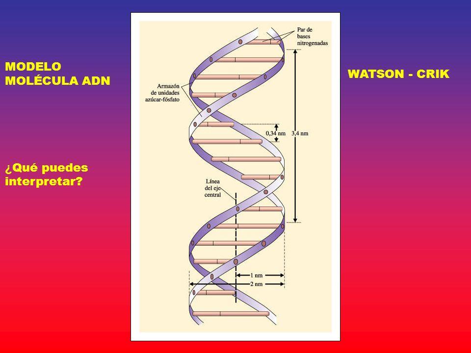 MODELO MOLÉCULA ADN WATSON - CRIK ¿Qué puedes interpretar