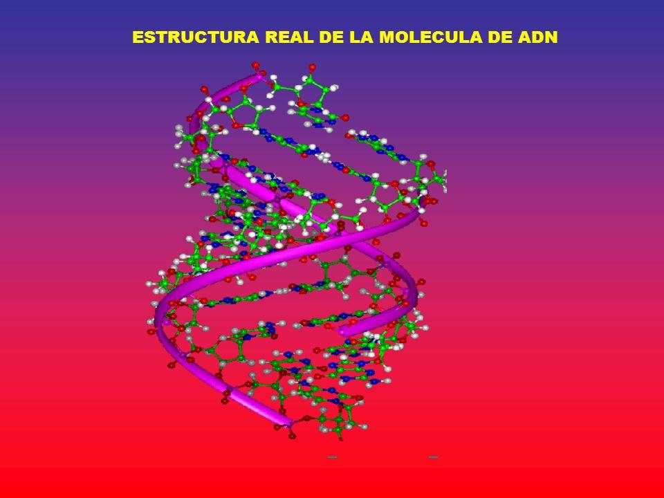 ESTRUCTURA REAL DE LA MOLECULA DE ADN