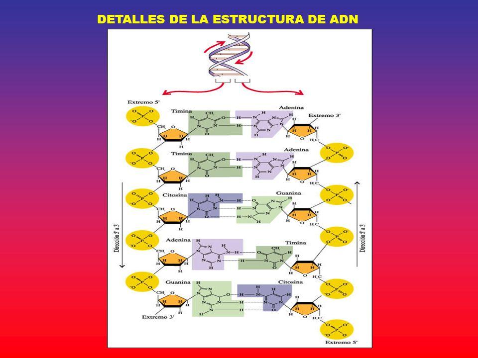 DETALLES DE LA ESTRUCTURA DE ADN