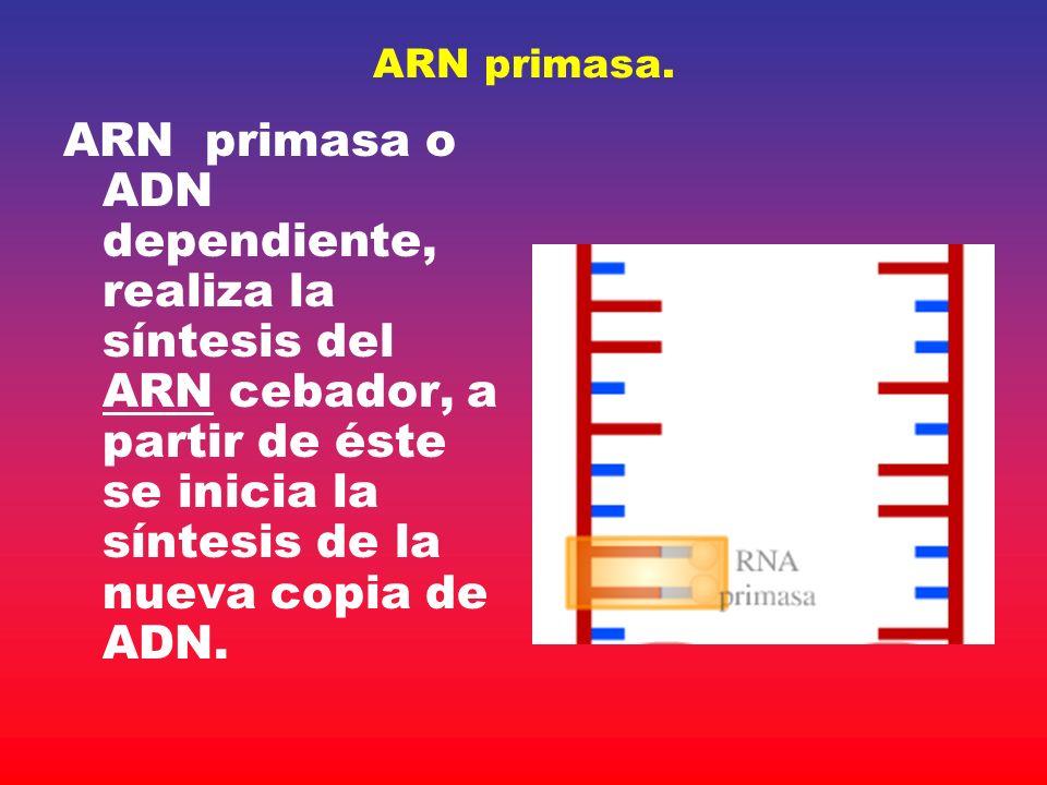 ARN primasa.