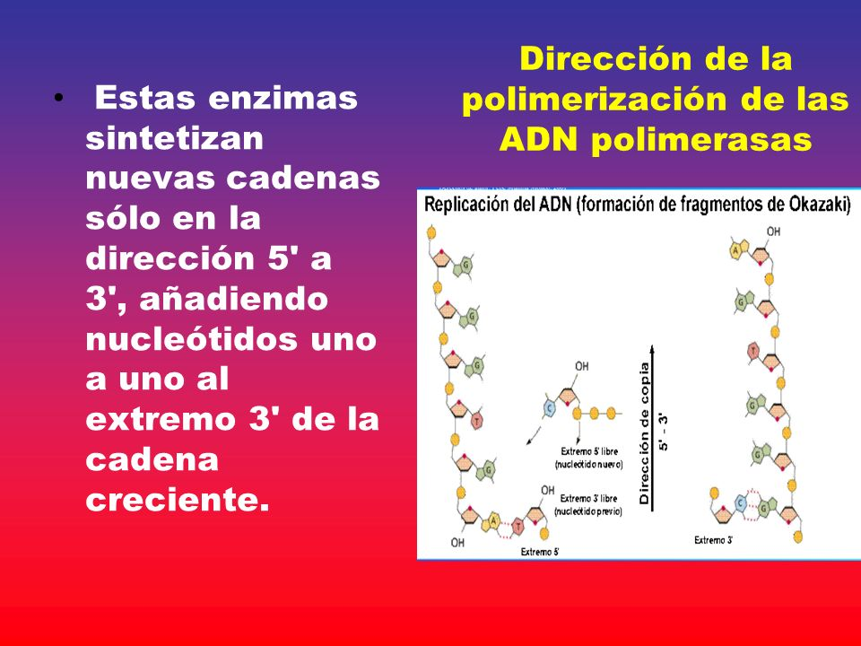Dirección de la polimerización de las ADN polimerasas