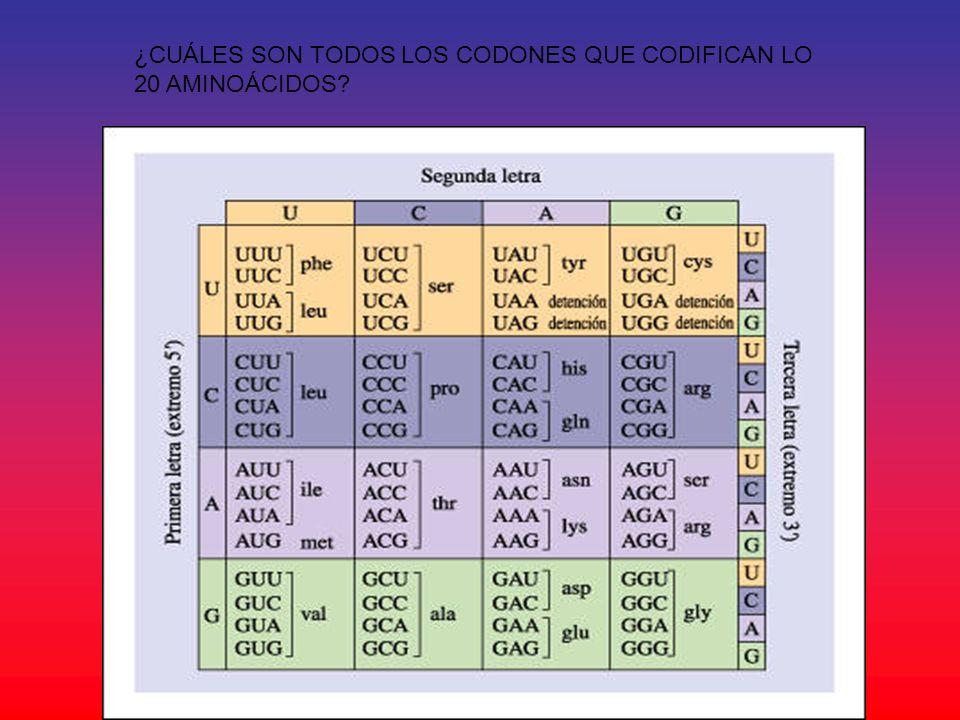 ¿CUÁLES SON TODOS LOS CODONES QUE CODIFICAN LO 20 AMINOÁCIDOS