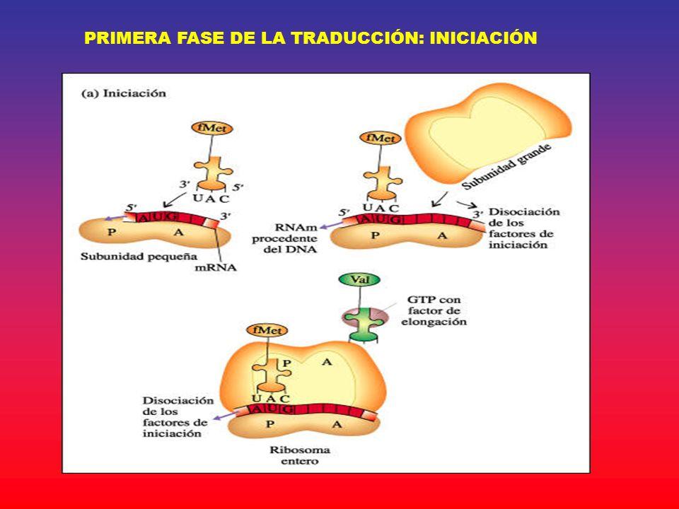 PRIMERA FASE DE LA TRADUCCIÓN: INICIACIÓN