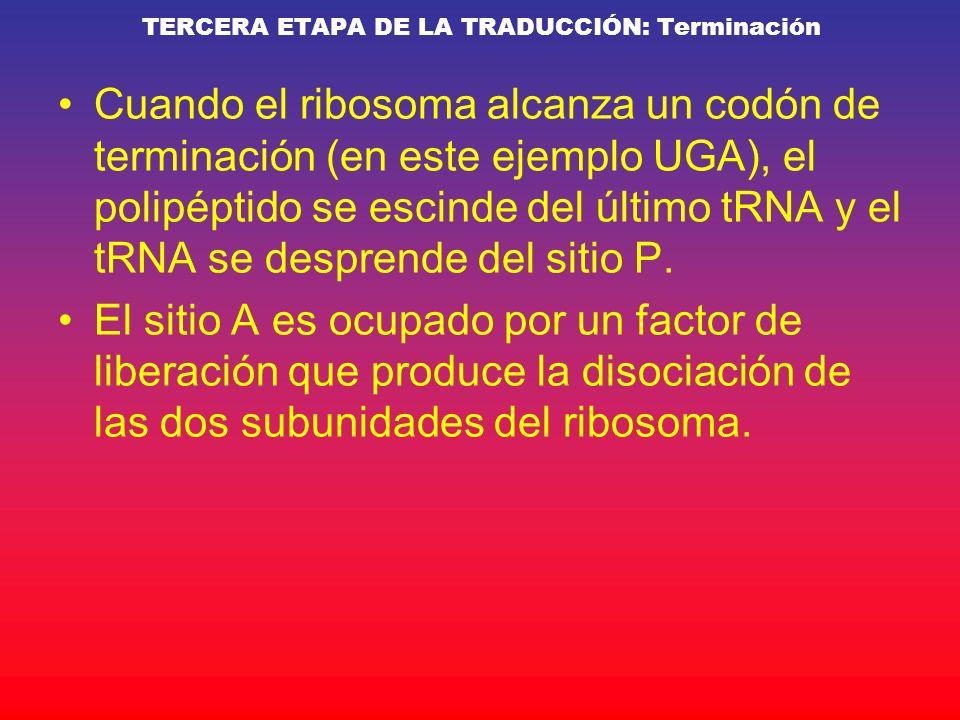 TERCERA ETAPA DE LA TRADUCCIÓN: Terminación