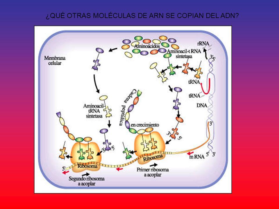 ¿QUÉ OTRAS MOLÉCULAS DE ARN SE COPIAN DEL ADN
