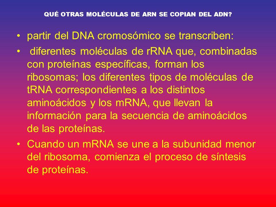 QUÉ OTRAS MOLÉCULAS DE ARN SE COPIAN DEL ADN