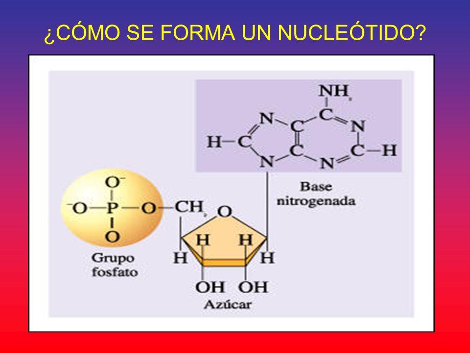 ¿CÓMO SE FORMA UN NUCLEÓTIDO