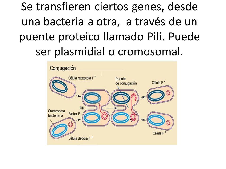 Se transfieren ciertos genes, desde una bacteria a otra, a través de un puente proteico llamado Pili.