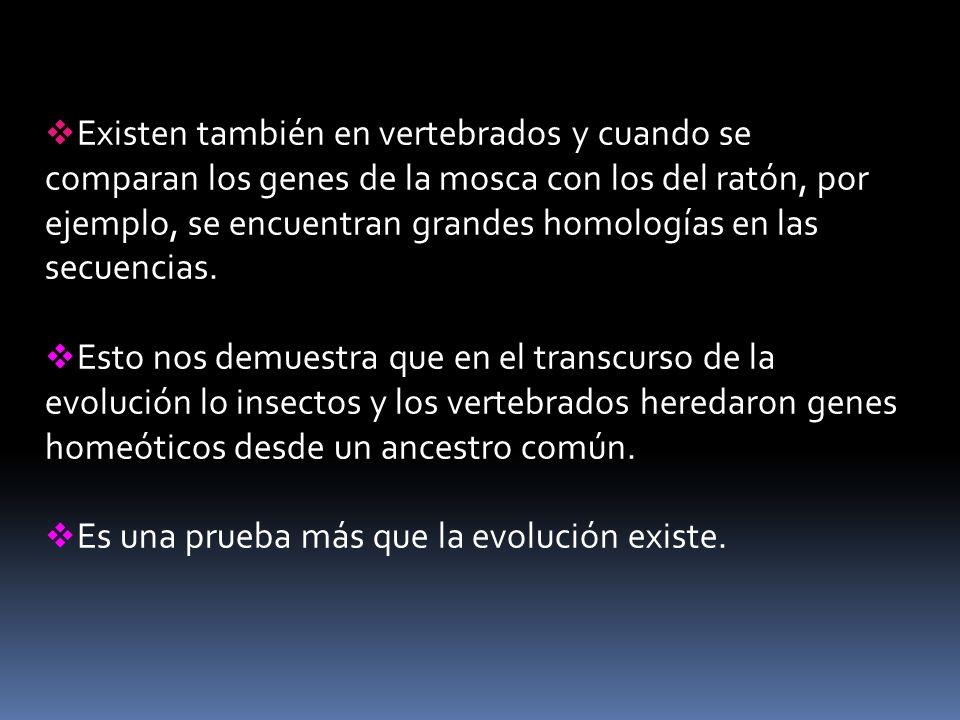 Existen también en vertebrados y cuando se comparan los genes de la mosca con los del ratón, por ejemplo, se encuentran grandes homologías en las secuencias.