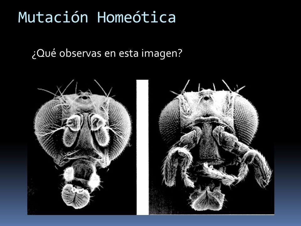 Mutación Homeótica ¿Qué observas en esta imagen