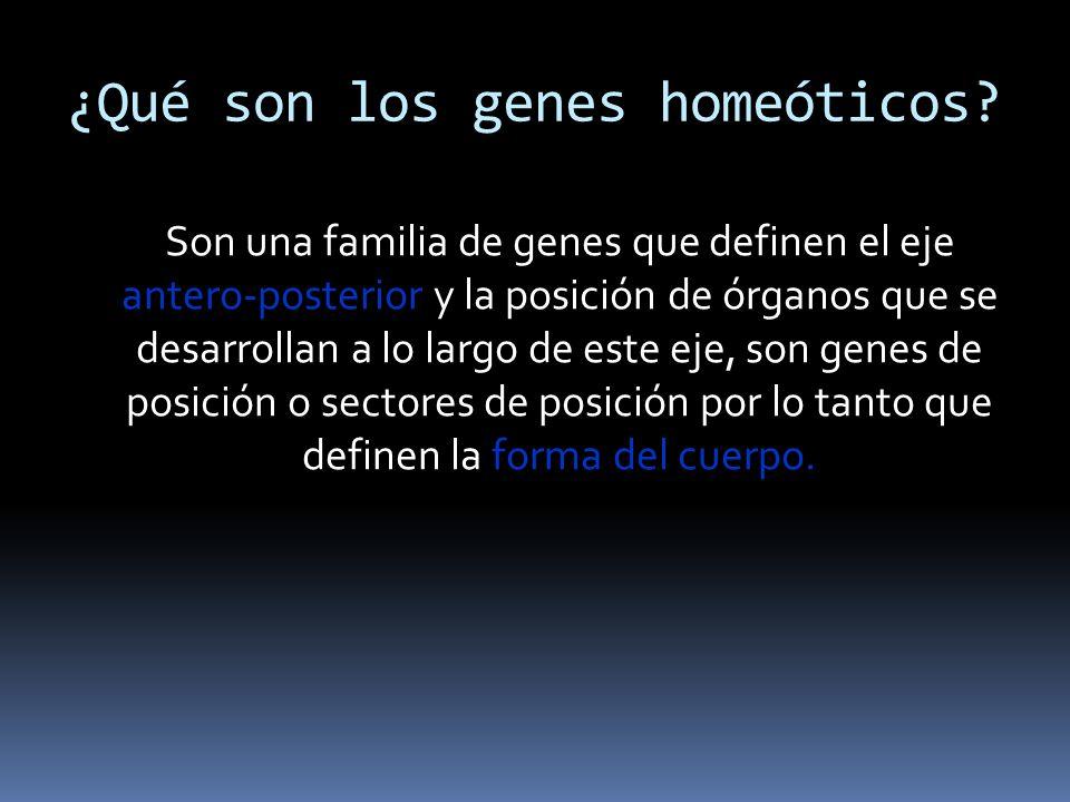 ¿Qué son los genes homeóticos