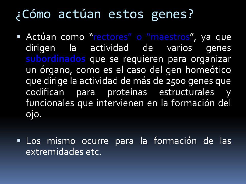 ¿Cómo actúan estos genes