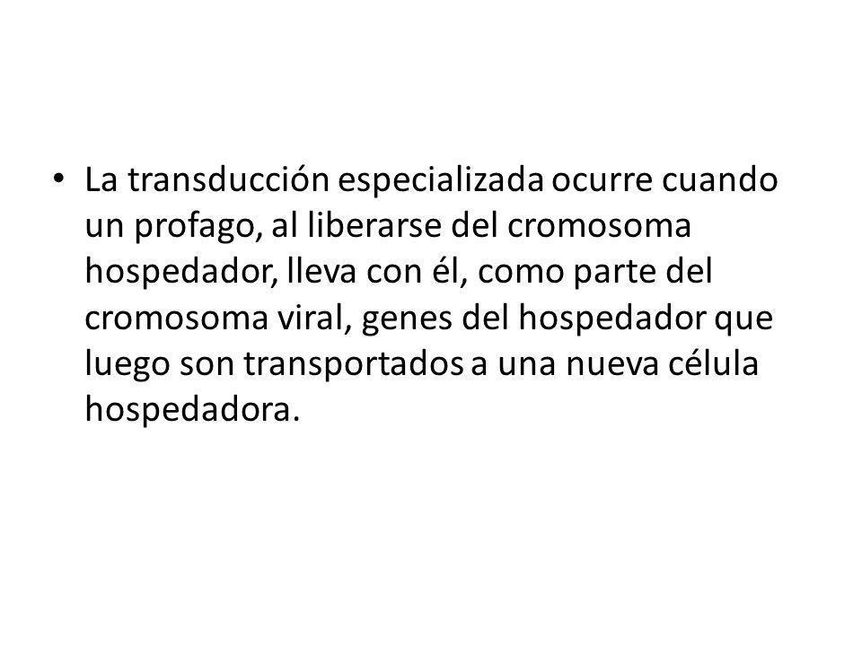 La transducción especializada ocurre cuando un profago, al liberarse del cromosoma hospedador, lleva con él, como parte del cromosoma viral, genes del hospedador que luego son transportados a una nueva célula hospedadora.