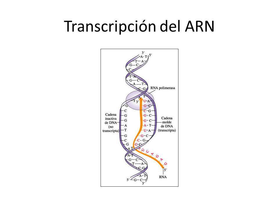 Transcripción del ARN
