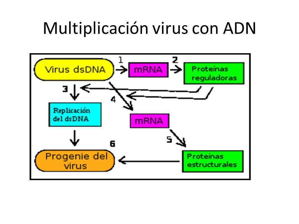Multiplicación virus con ADN